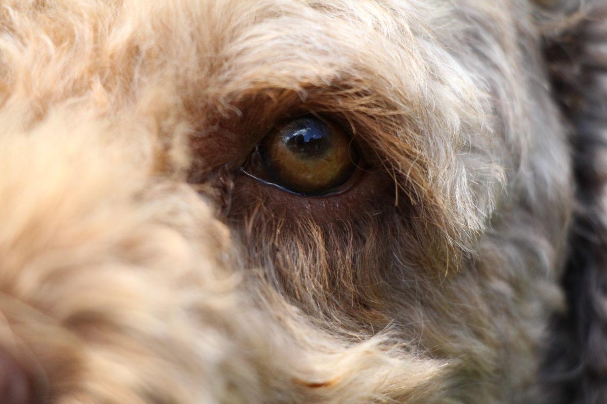 closeup-oog-hondengedrag