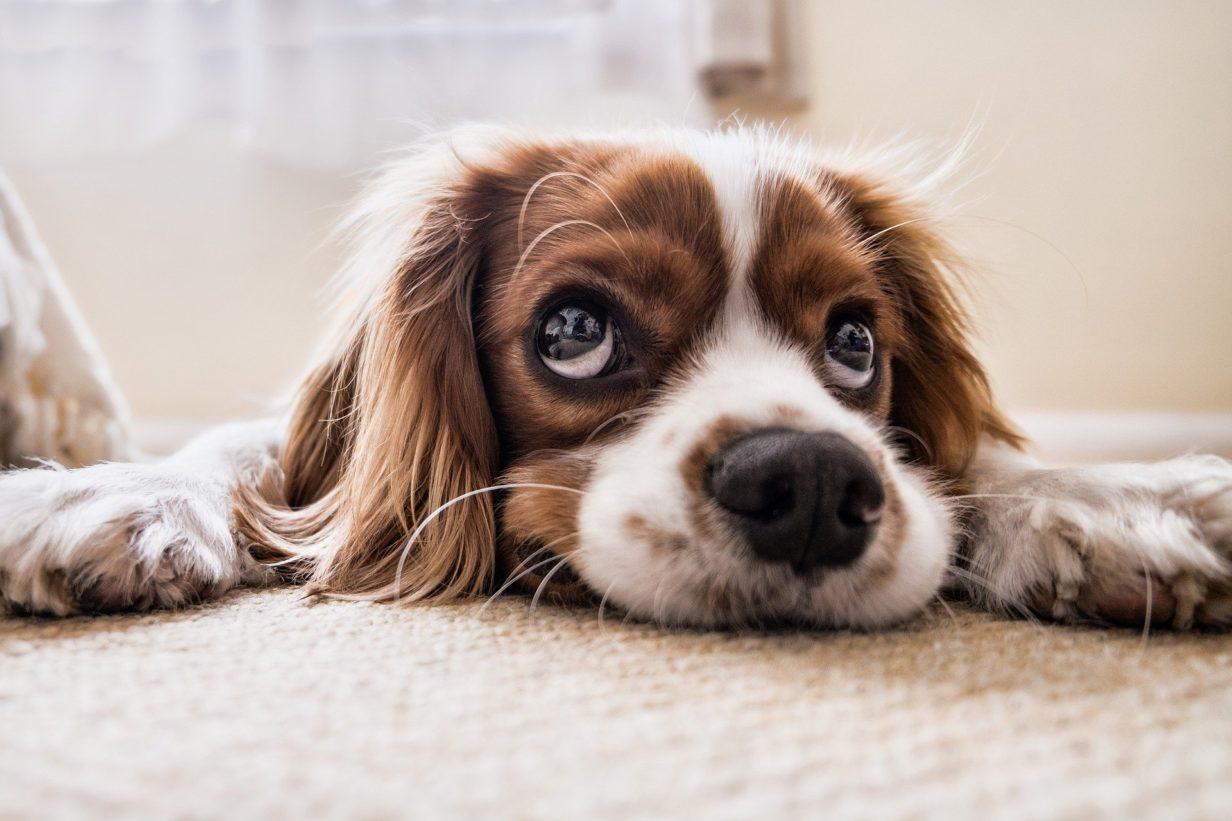 Hond kijkt zielig