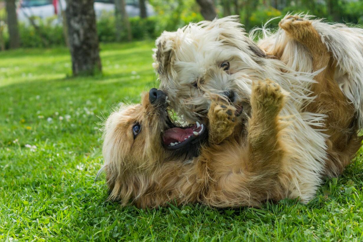 spelende-honden-dogsfavourite-voorbeeld